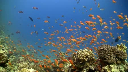 reef life : Colorful Fish on Vibrant Coral Reef, static scene, Red sea