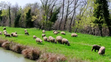 cena não urbana : Flock sheeps grazing on the banks of the river, in motion