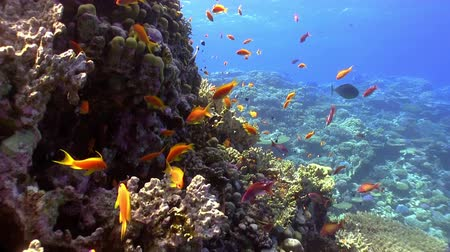 underwater scenes : Colorful Fish on Vibrant Coral Reef, Red sea