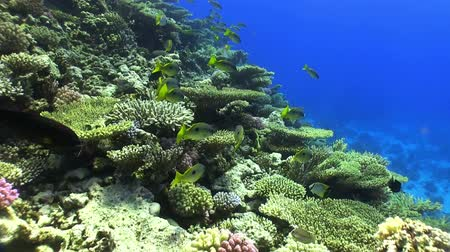 reef life : Shoal of Yellow Fish on Coral Reef, Red sea