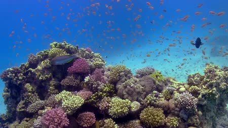 reef life : Colorful Fish on Vibrant Coral Reef, Red sea