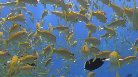underwater scenes : Shoal of Yellow Fish on Coral Reef, Red sea