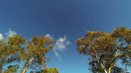 wideangle : Looking up while driving from road with trees and clouds in the sky
