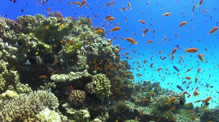 глубоко : Colorful Fish on Vibrant Coral Reef, Red sea