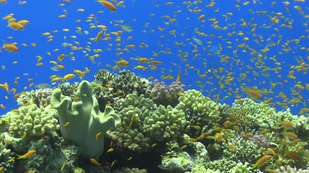 underwater scenes : Tropical Fish on Vibrant Coral Reef, Red sea Stock Footage