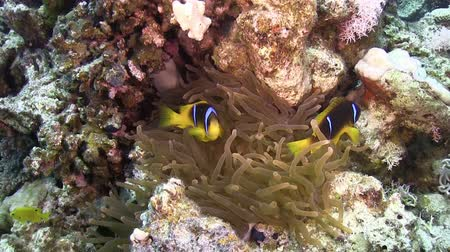 red sea anemonefish : Clown Anemonefish in coral reef, Red sea Stock Footage