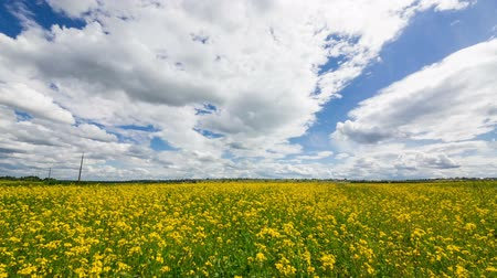 repce : Beautiful Yellow Oilseed Rape Flowers in the Field, panoramic Stock mozgókép