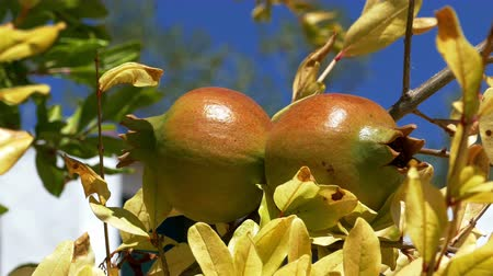 roma : Pomegranate Fruits on the Branch Tree, closeup