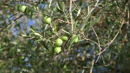 ramos : Olive Berries on the Branch Tree, closeup