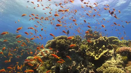 potápěč : Colorful Fish on Vibrant Coral Reef, Red sea