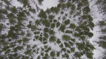 pinho : Flying Above Winter Forest in Cloudy Weather, aerial view