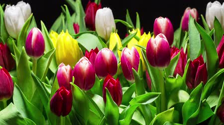 tulipany : Bouquet of Bright Tulips Blooms, timelapse