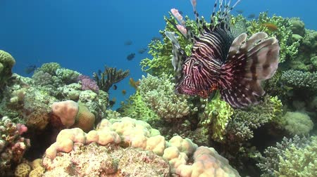 rafa : African lionfish on Coral Reef Red sea