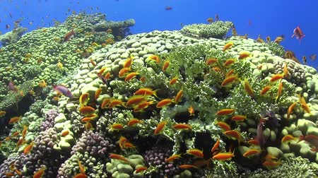 reef life : Tropical Fish on Vibrant Coral Reef, underwater scene