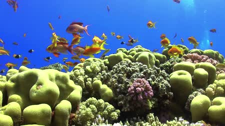 potápěč : Tropical Fish on Vibrant Coral Reef, static scene