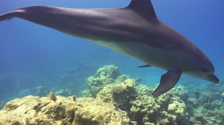 yunus : Dolphins Swims Near Divers, underwater scene Stok Video