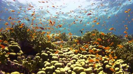 potápěč : Tropical Fish on Vibrant Coral Reef, underwater scene
