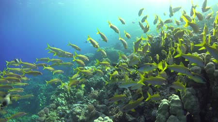 mar vermelho : Tropical Fish on Vibrant Coral Reef, underwater scene