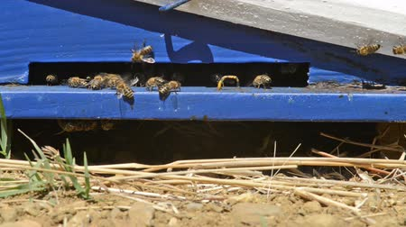 polinização : Close up footage of Bees returning to their hive