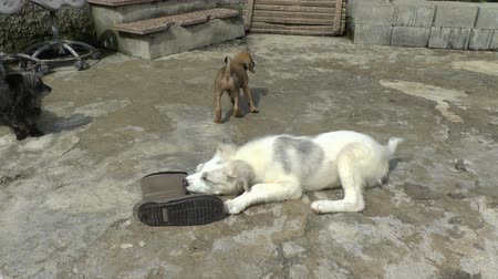 dog pound : Dogs in a Dog sanctuary chewing an old boot.A small puppy tries to get it from the bigger dog