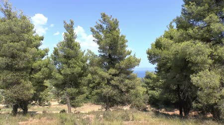 pinho : Pine trees on the edge of a forest with the sea showing through the branches