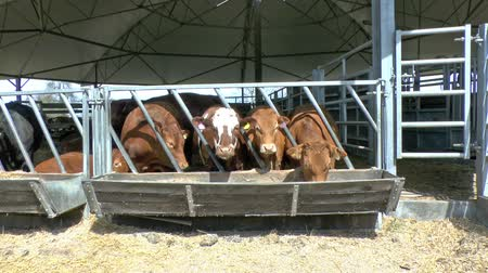 говядина : A herd of beef cattle eating food in an open sided round barn