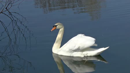 tenger : A graceful Swan swimming on a lake in a bird sanctuary