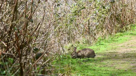 vadon : Wild Rabbit eating grass on a a country lane Stock mozgókép