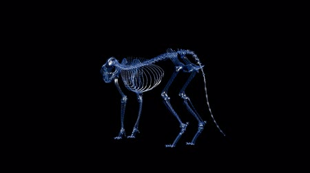 X-ray Feline Cat Looped Alpha Channel Included