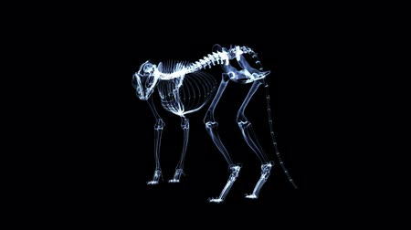 X-ray Feline Cat looped Alpha Channel inbegrepen Stockvideo