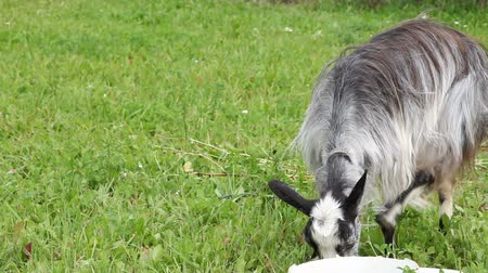 cabra : Goat on the grass Stock Footage