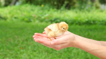 tavuk : Cute little chick in hands.