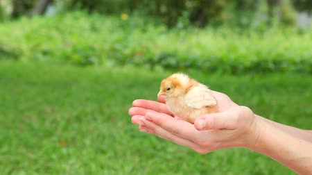 domestic animals : Cute little chick in hands.