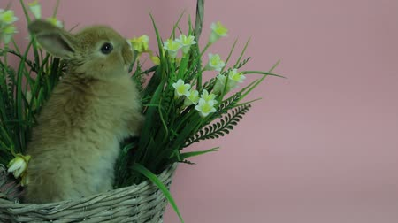 Cute rabbit sitting in a basket Stock Footage