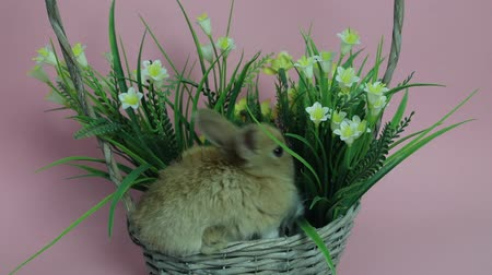 rabbits : Cute rabbit sitting in a basket Stock Footage
