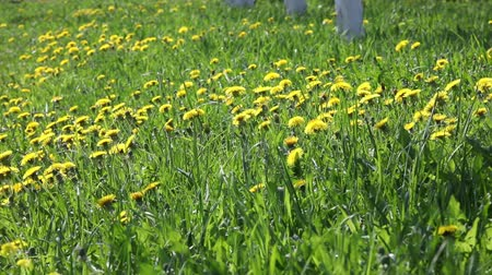 árpa : Green grass with dandelions