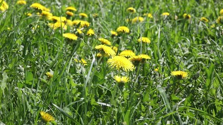 owies : Green grass with dandelions