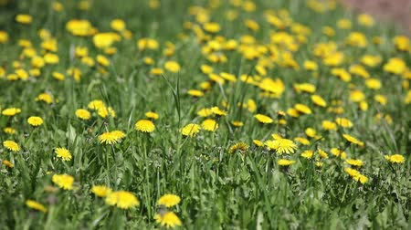 Green grass with dandelions