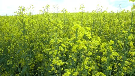haziran : Flowering rapeseed field.