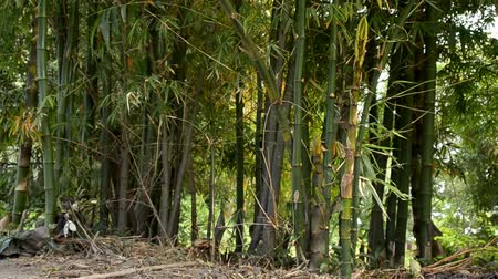 bamboo forest : bamboo Stock Footage