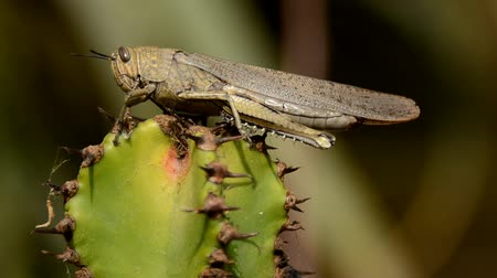kaktusz : Grasshopper on the cactus