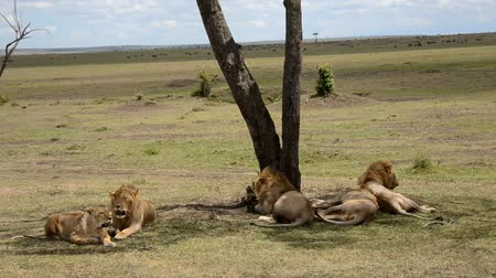 câmara : lions in the savannah