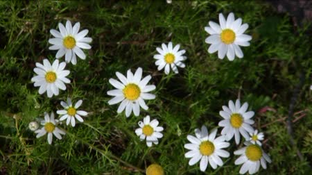 stokrotki : daisies in the wind  Wideo