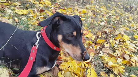 cimborák : black dog with a red collar on a background of yellow leaves