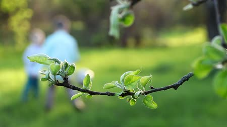 six worlds : Close-up, branch with green leaves. on the background dad, a young dark-haired man plays with his son, a cute boy of three years, in the ball, teaches him how to play football, they have fun, everything turns out for the kid.Spring, evening, at sunset, in Stock Footage