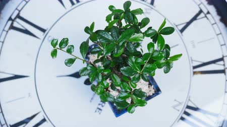 barbatus : view from above, close-up. A green bonsai tree rotates on the dial of a large clock. An idea for a theme about time and nature Stock Footage