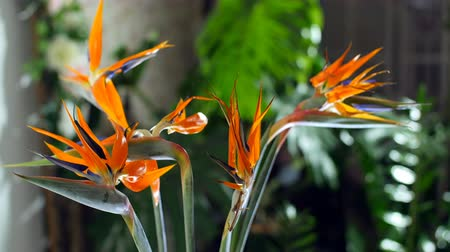 roomy : Flower bouquet in the rays of light in rotation, consists of Strelitzia. in the background a lot of greenery