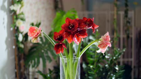 alstroemeria : Flower bouquet in the rays of light, rotation, consists of Amaryllis white and pink. in the background a lot of greenery