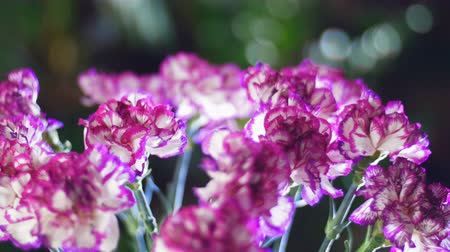 roomy : close-up, Flower bouquet in the rays of light, rotation, the floral composition consists of Bright purple turkish Carnation