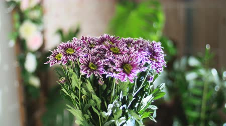 barbatus : Flower bouquet in the rays of light, rotation, the floral composition consists of purple Chrysanthemum saba. In the background a lot of greenery